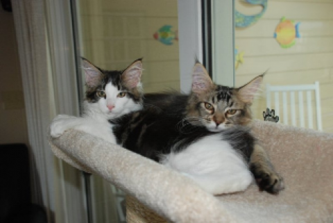 Lady and Trouble as Kittens